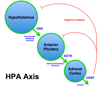 350px-HPA_Axis_Diagram_%28Brian_M_Sweis_2012%29.png