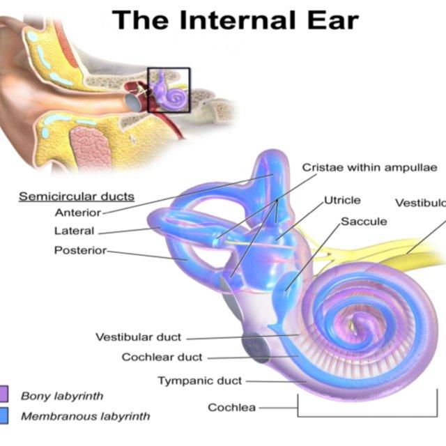 Anatomy-of-Inner-Ear-It-consists-of-six-mechanoreceptor-structures_Q640.jpg