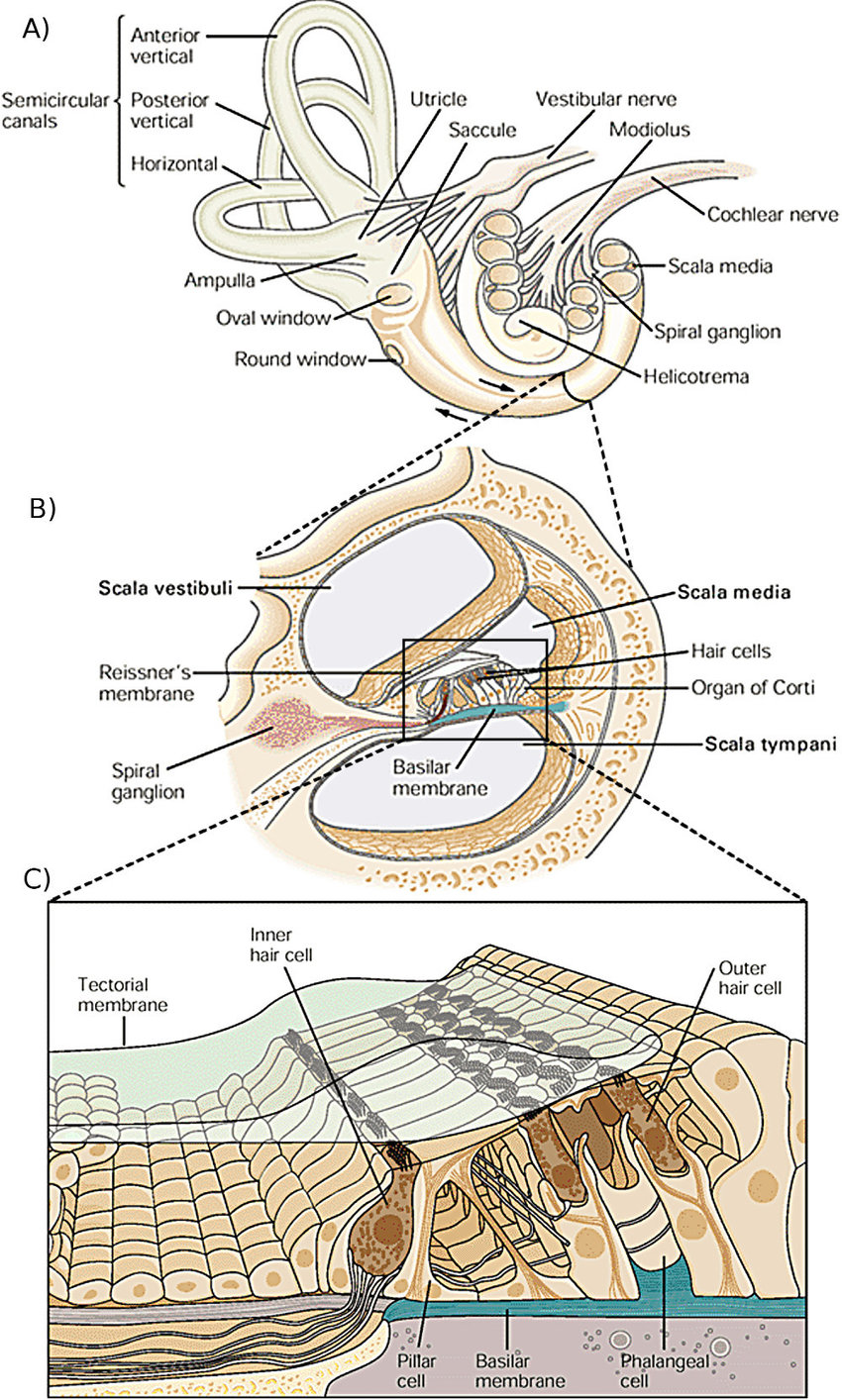 Anatomy-of-the-cochlea-A-The-overall-structure-of-the-inner-including-vestibular.jpg