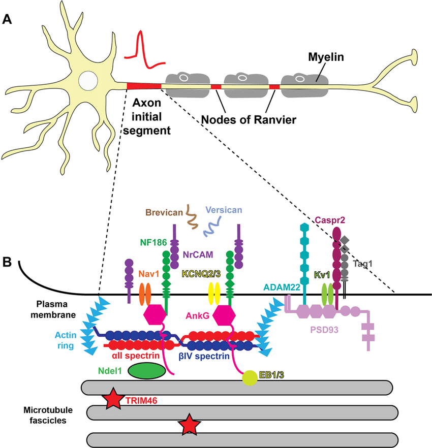 Cartoon-of-a-multipolar-neuron-and-the-molecular-composition-of-the-AIS-A-Neurons-are.png