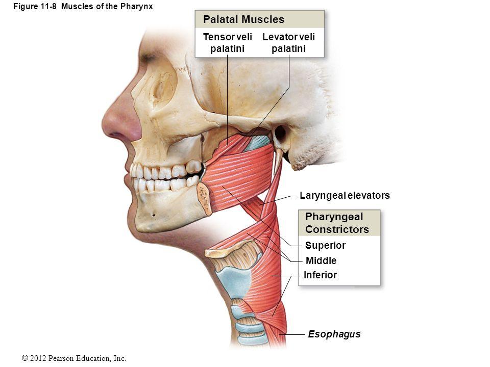 Figure+11-8+Muscles+of+the+Pharynx.jpg