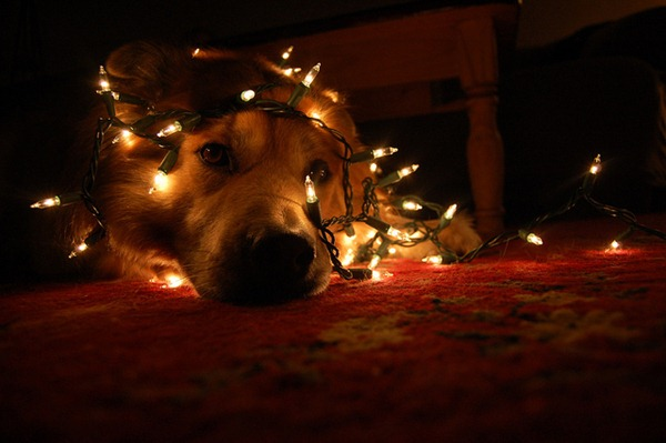 Funny-Dogs-And-Christmas-Lights-Christmas-Spirit-5.jpg