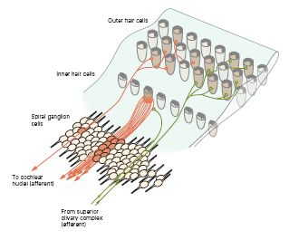 Hair cells.jpg