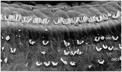 hair_cell_right_bot_1.jpg
