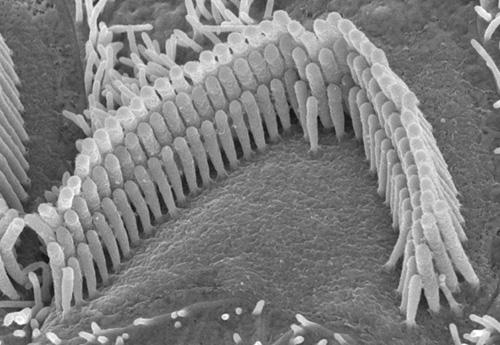 Inner Ear Hair Cells_Pristine Condition.jpg