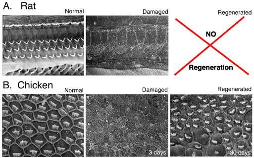 Inner Ear Hair Cells_Regeneration.jpg