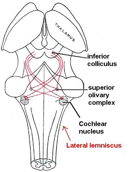 Lateral_lemniscus[1].jpg