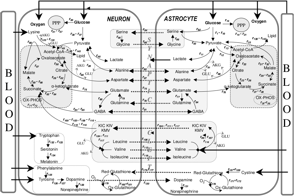 Metabolic_interactions_between_astrocytes_and_neurons_with_major_reactions.png