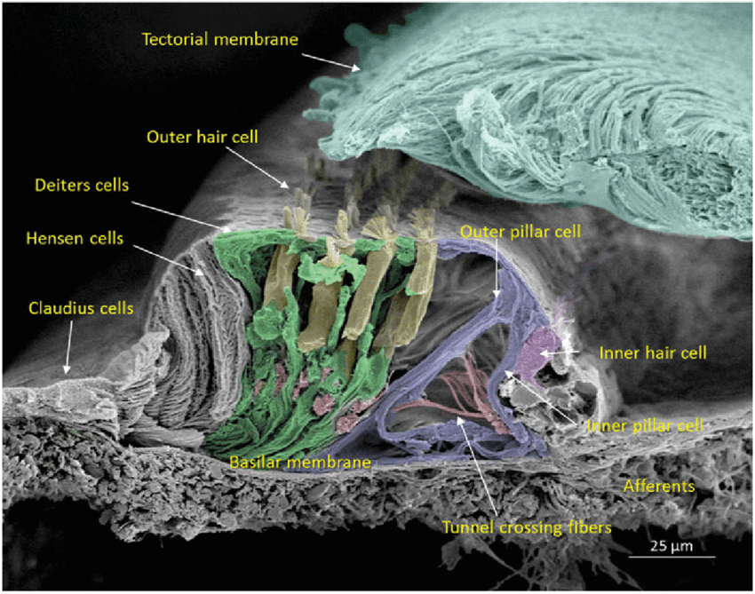 Scanning-electron-microscopy-of-the-cochlear-sensory-epithelium-organ-of-Corti-in-the.png