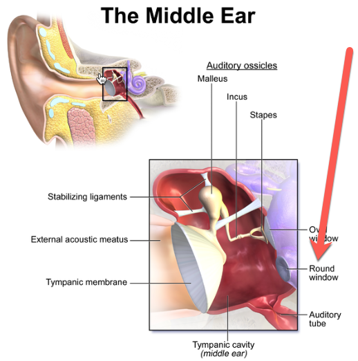 the-middle-ear-round-window.png