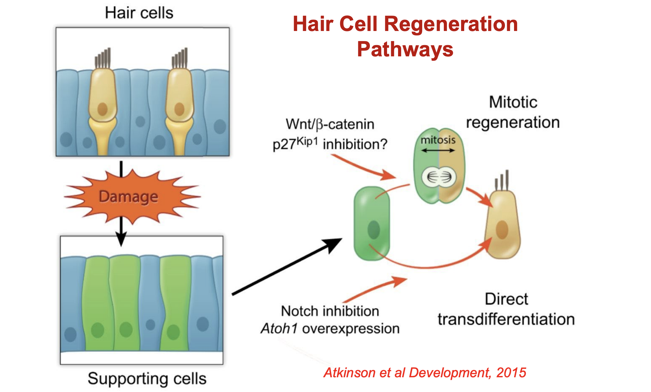 Transdifferentiation.png